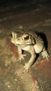 Frog at natures concert